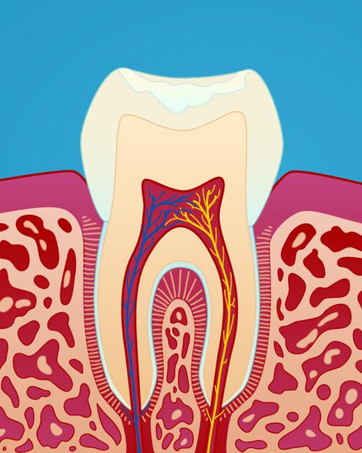 Hvordan en tann ser ut på innsiden